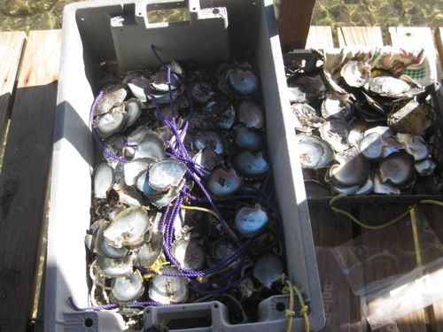 Oysters Ready to be Re-Cycled